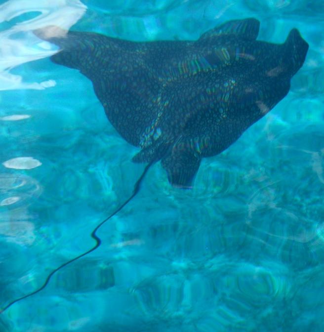 Ray swimming by Mattina