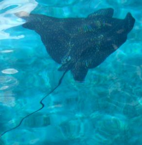 Cambridge Cay Spotted Eagle Ray