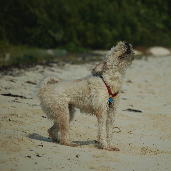 Farley barking from shore