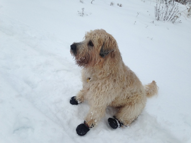 Farley with boots sitting