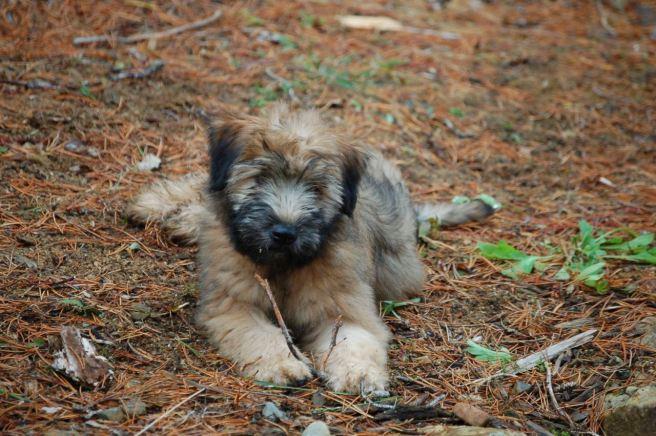 Farley Puppy
